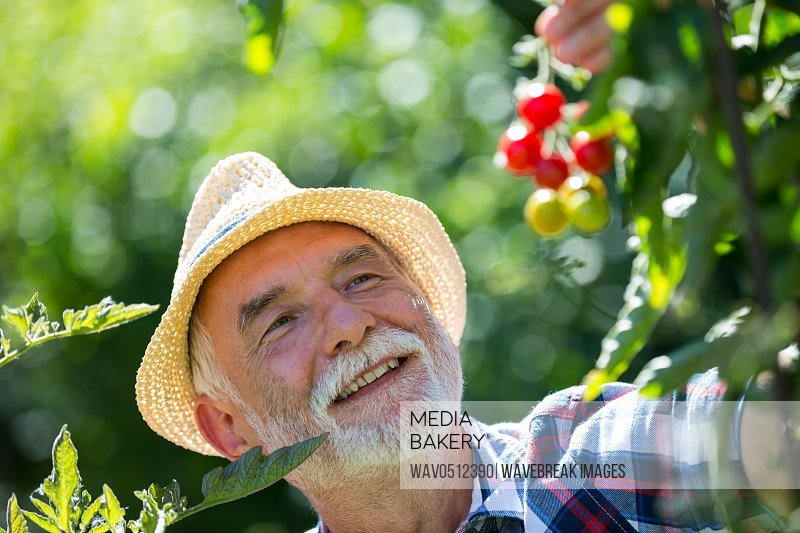 Senior man holding cherry tomato in the garden on a sunny day