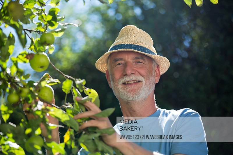 Portrait of senior man checking fruit in the garden on a sunny day