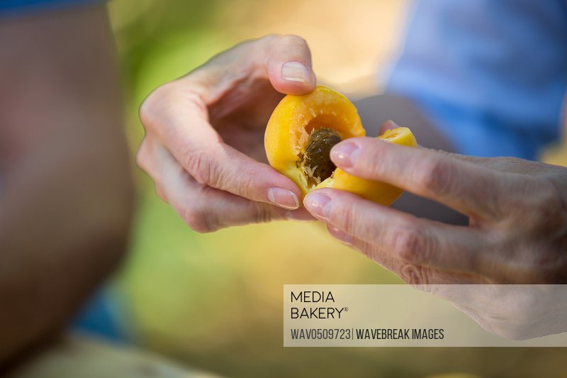 Close-up of hand removing seeds of apricot fruits in garden on a sunny day