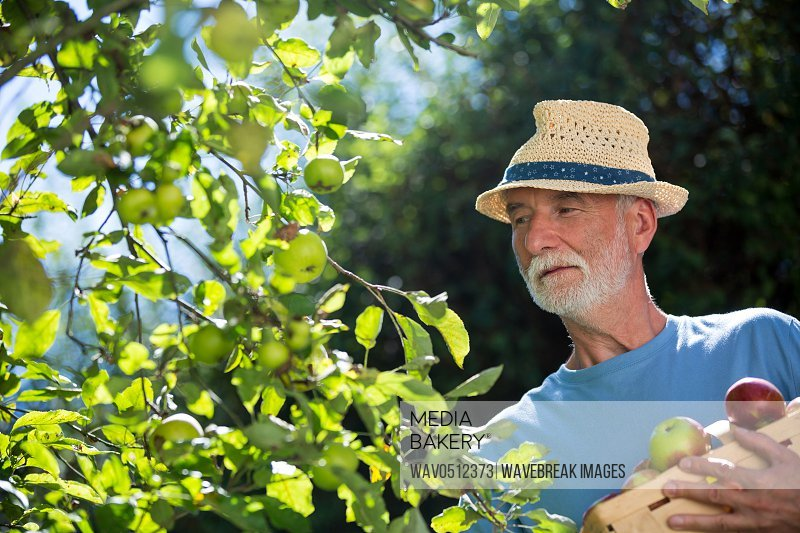 Senior man checking fruit in the garden on a sunny day