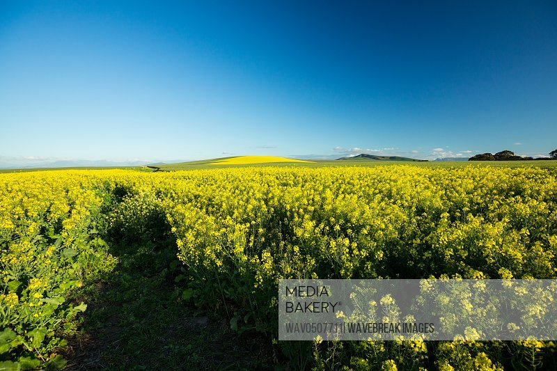 View of beautiful mustard field on a sunny day