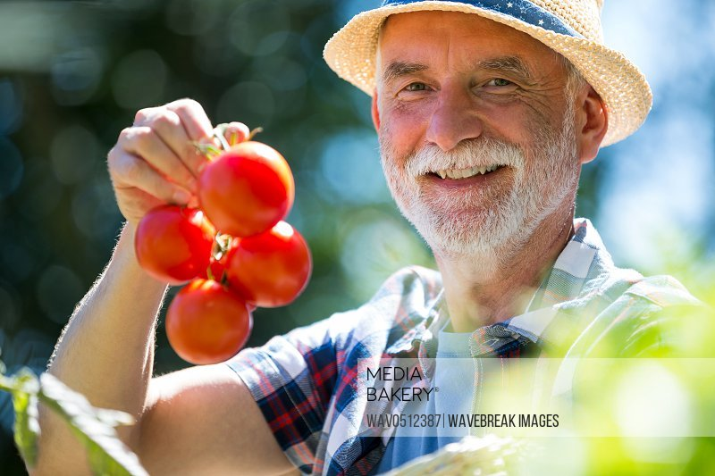 Portrait of senior man holding tomato in the garden on a sunny day