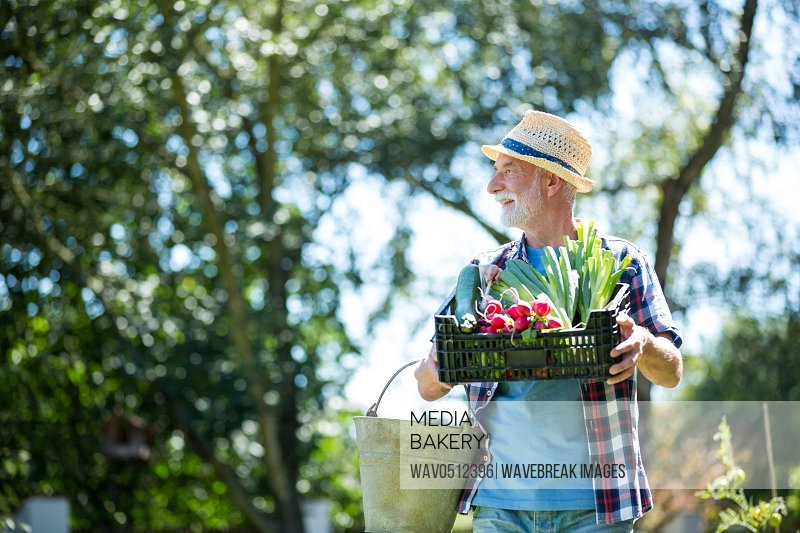 Senior man holding crate of fresh vegetables in garden on a sunny day