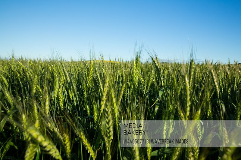 View of beautiful wheat field on a sunny day
