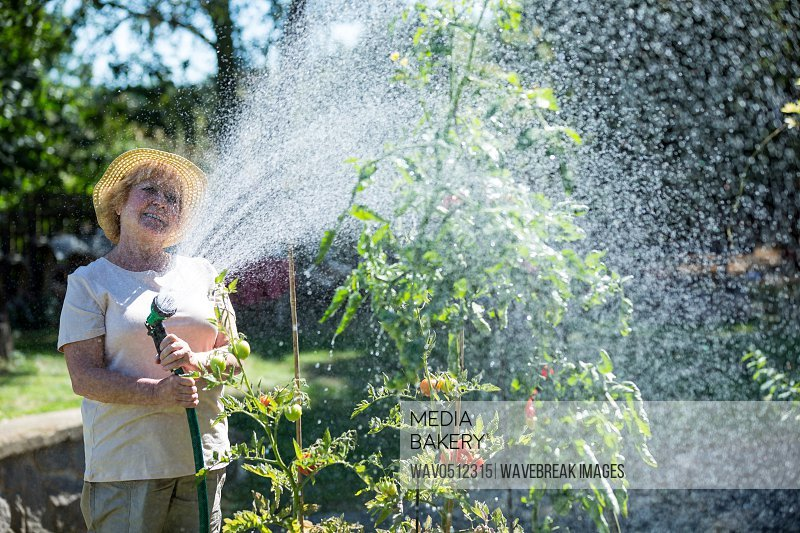 Senior woman watering plants with a hose in vegetable garden on a sunny day
