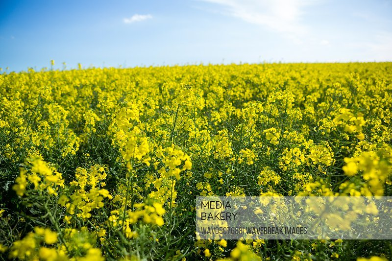 View of mustard field on a sunny day