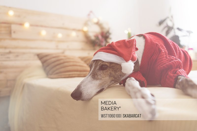 dc93d80f4d528 Mediabakery - Photo by Westend 61 - Greyhound lying on bed wearing ...