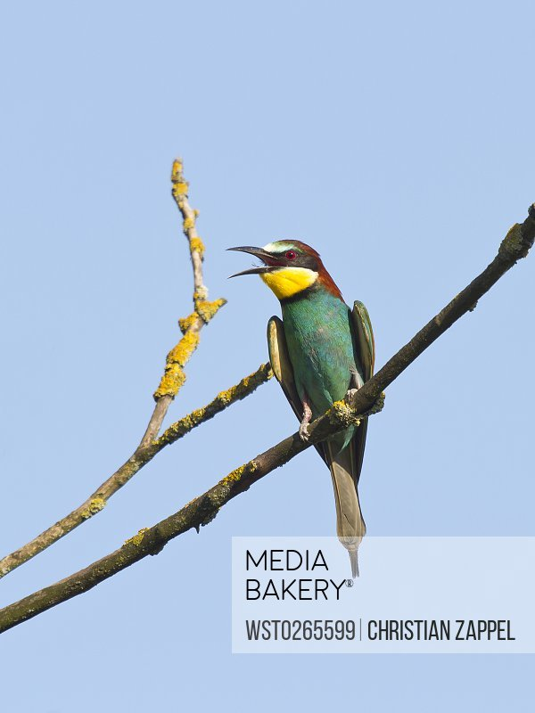 Bee-eater perching on twig