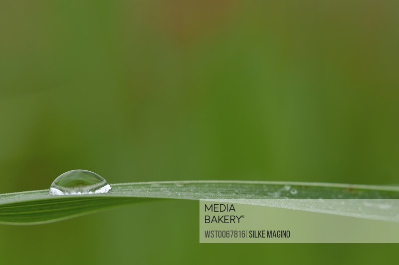 Dewdrops on Chinese silver grass (miscanthus sinensis), close-up