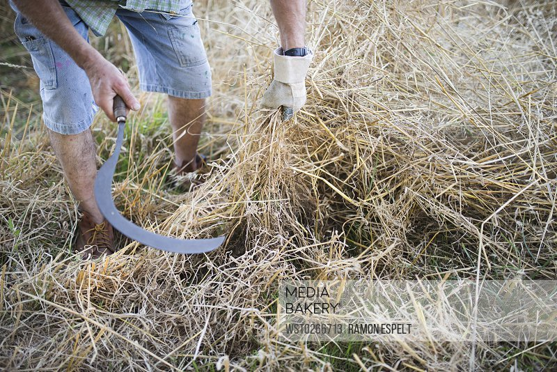 Spain, farmer cutting dry grass with scythe