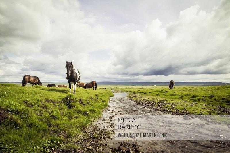 Iceland, Icelandic horses on grassland