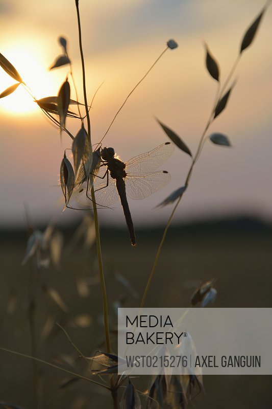 Dragonfly sitting on oat at sundown